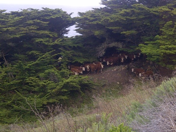 Cows retreating from the winds