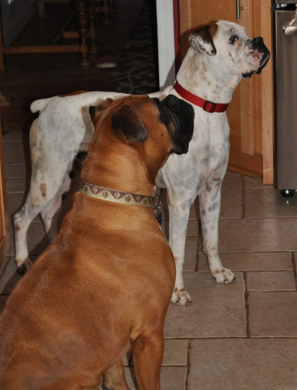 Our Foster Dogs | BoxerRunner